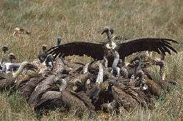 Vultures gather for a feast during the Battle of Armageddon
